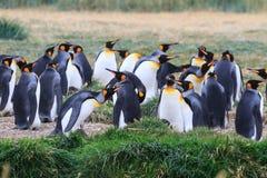 Колония короля пингвинов, patagonicus Aptenodytes, отдыхая в траве на Parque Pinguino Rey, Патагонии Огненной Земли Стоковое фото RF