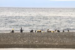 Колония короля пингвинов, patagonicus Aptenodytes, отдыхая на пляже на Parque Pinguino Rey, Патагонии Огненной Земли Стоковые Фотографии RF