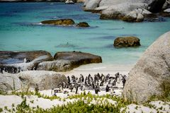 Колония пингвина на пляже валунов, Южной Африке Стоковая Фотография