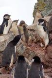 Колония пингвина Chinstrap в Антарктиде Стоковое Изображение