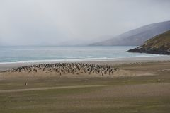 Колония пингвина Gentoo на острове Saunders Стоковая Фотография RF