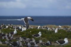 Колония чайки келпа на острове морского льва стоковая фотография