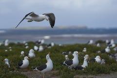 Колония чайки келпа на острове морского льва стоковое изображение rf