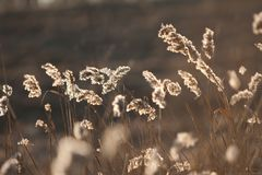 Колоски леса в апреле сухой травы ` s last year весной на заходе солнца backlit солнечний свет Стоковые Изображения RF