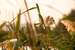 Колоски Reed в заходе солнца Стоковые Изображения RF