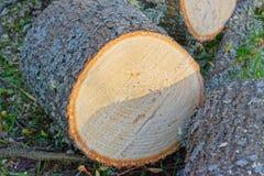 Кольца года отрезка ветви вниз большой Стоковые Фотографии RF