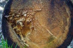 Кольцо дерева журнал древесина Стоковое Изображение
