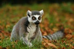 кольцо обезьяны lemur замкнуло Стоковое Изображение