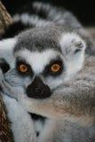 кольцо lemur замкнуло Стоковые Изображения RF