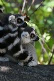 кольцо lemur catta замкнуло Стоковые Фото