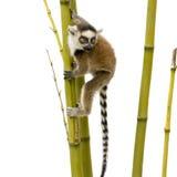 кольцо lemur catta 6 замкнуло недели Стоковые Фото