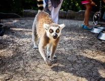 Кольц-замкнутое ` Catta лемура ` лемура в сафари-парке Стоковая Фотография RF
