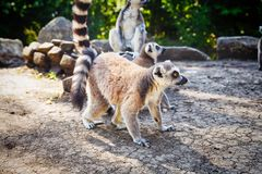 Кольц-замкнутое ` Catta лемура ` лемура в сафари-парке Стоковые Изображения RF