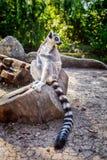 Кольц-замкнутое ` Catta лемура ` лемура в сафари-парке Стоковые Изображения