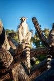 Кольц-замкнутое ` Catta лемура ` лемура в сафари-парке Стоковая Фотография