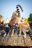 Кольц-замкнутое ` Catta лемура ` лемура в сафари-парке Стоковые Фото
