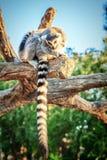 Кольц-замкнутое ` Catta лемура ` лемура в сафари-парке Стоковое Изображение