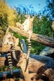 Кольц-замкнутое ` Catta лемура ` лемура в сафари-парке Стоковое Изображение RF