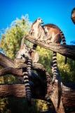 Кольц-замкнутое ` Catta лемура ` лемура в сафари-парке Стоковые Фотографии RF