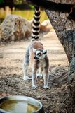 Кольц-замкнутое ` Catta лемура ` лемура в сафари-парке Стоковое фото RF