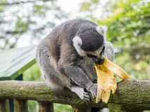 Кольц-замкнутое catta лемура лемура есть банан Стоковое Фото