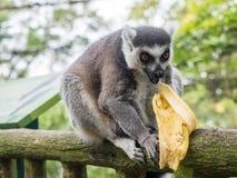 Кольц-замкнутое catta лемура лемура есть банан Стоковое фото RF