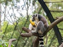 Кольц-замкнутое catta лемура лемура есть банан Стоковая Фотография RF