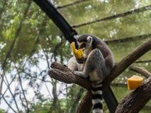 Кольц-замкнутое catta лемура лемура есть банан Стоковые Фото