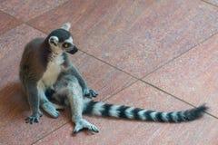 Кольц-замкнутое catta лемура или лемура в зоопарке Стоковая Фотография