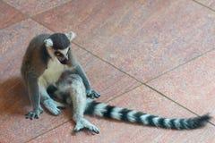 Кольц-замкнутое catta лемура или лемура в зоопарке Стоковое фото RF