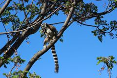 Кольц-замкнутое catta лемура лемура на запасе общины Anja, Мадагаскаре Стоковое Изображение RF