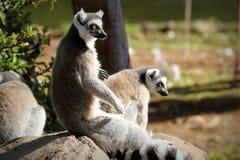 Кольц-замкнутое catta лемура лемура, Южная Африка Стоковые Изображения RF