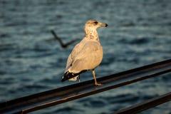 Кольц-представленная счет чайка сидя на прокладывая рельсы конце вверх стоковые фото