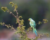 Кольц-necked длиннохвостый попугай садить на насест в дереве Стоковое Изображение