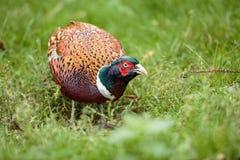 Кольц-necked конец крана фазана вверх Стоковое Изображение