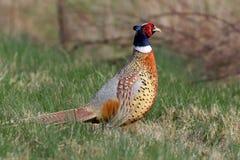 Кольц-necked фазан в естественной среде обитания Стоковое Изображение RF