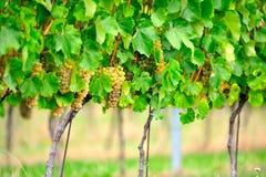 колья виноградного вина Стоковые Изображения