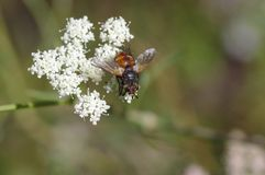 Колючая муха сидя на одичалом белом цветке стоковое изображение
