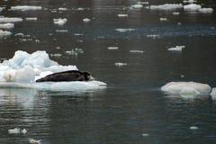 Колючее уплотнение на льде в Spitzbergen Стоковые Изображения RF