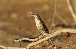 Колючее-cheeked Honeyeater в захолустье Стоковое Фото