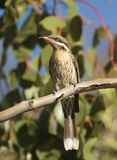 Колючее-cheeked Honeyeater сидя в дереве Стоковое Фото