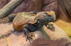 Колючий-замкнутая ящерица на камне стоковые фото
