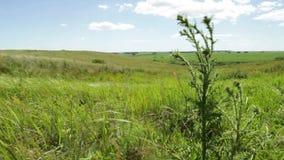 Колючий зеленый thistle пошатывает в ветре в просторном поле лета видеоматериал