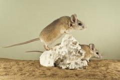 2 колючих mouses в просторном terrarium с песочным дном и привлекательно старомодный части гипса Стоковое Изображение