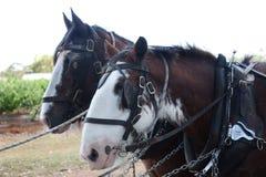 команда лошадей стоковые фотографии rf