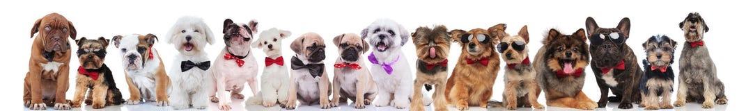 Команда много милых собак нося bowties и солнечные очки стоковое изображение rf