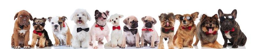 Команда много счастливых собак джентльмена с bowties стоковые фотографии rf