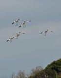 команда посадки avocets Стоковая Фотография