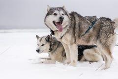 Команда собак скелетона в вьюге Стоковое Изображение RF