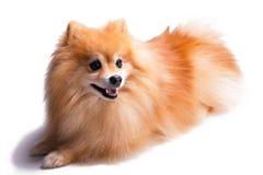 Команды золотого щенка Pomeranian ждать от предпринимателя стоковая фотография rf